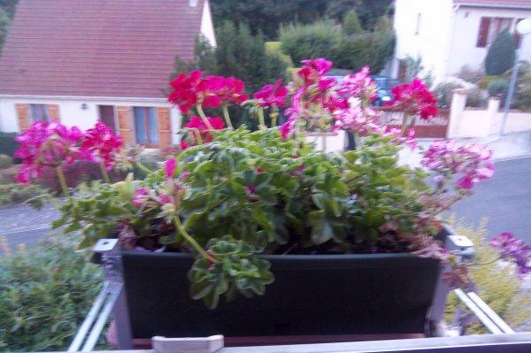Les g raniums dans la jardini re devant la fen tre de for Assi dans la fenetre de ma chambre